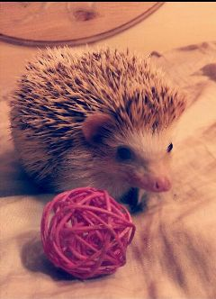 pets & animals photography cute love hedghogs