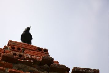 photography crow pets & animals nature