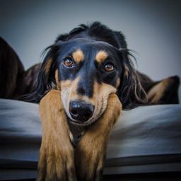saluki sighthounds erinhounds